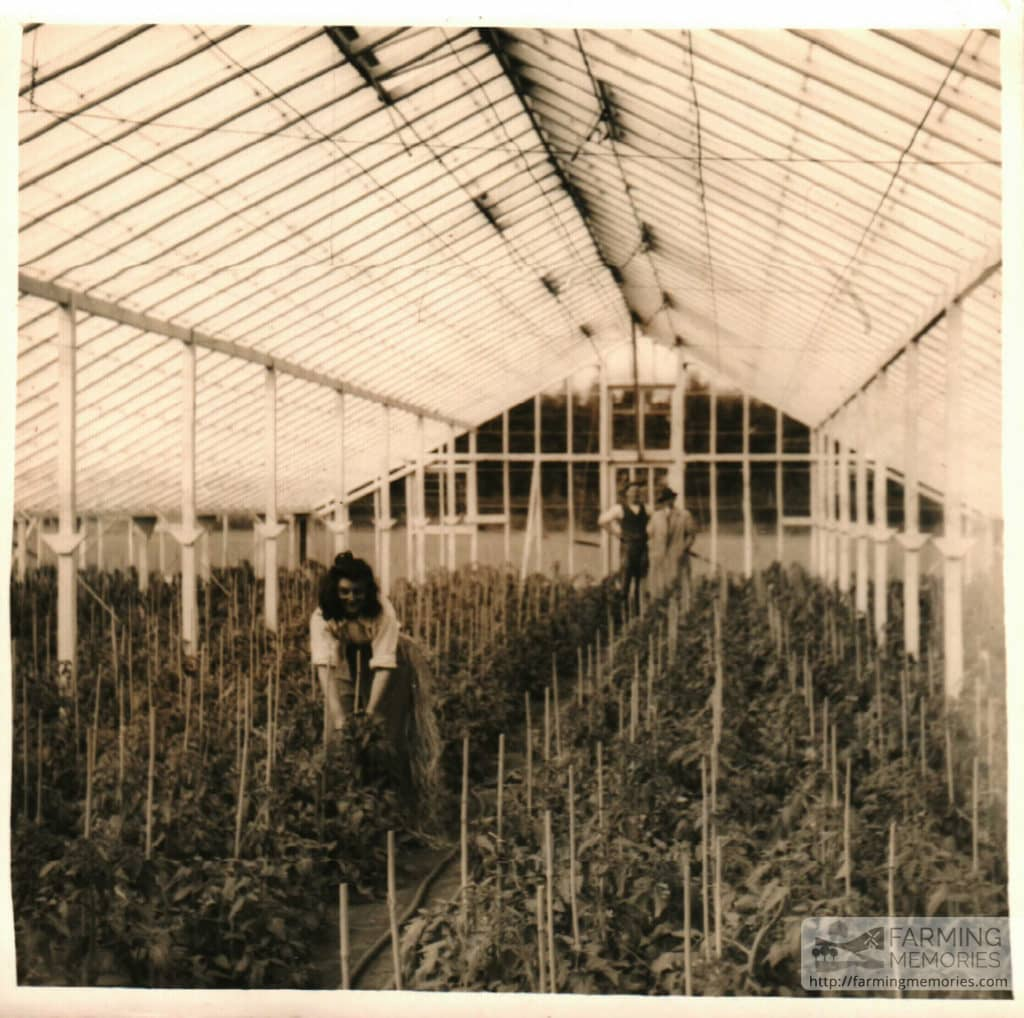 Andrew Groves - Tomatoes in glasshouse