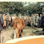 Sale of Cow