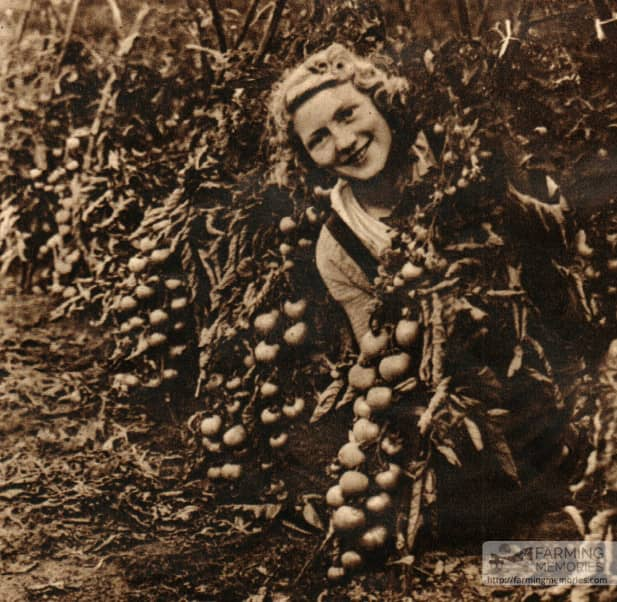 Betty Squibb tying tomatoes at Knighton