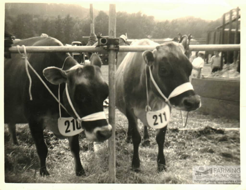 Christine Broom = Daffodil & Bracelet – cows shown at County Show
