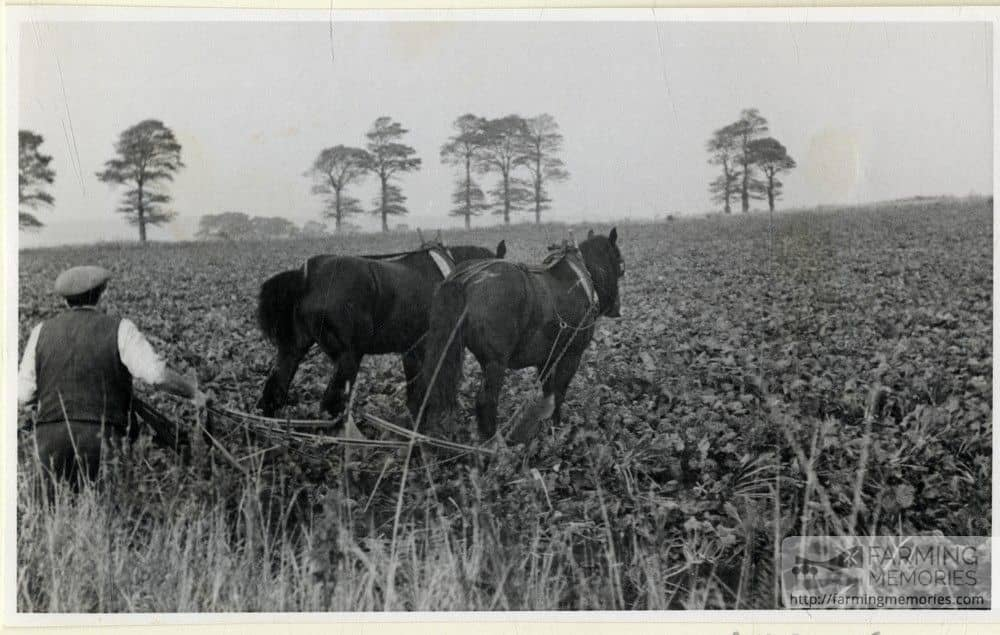 Black and white photograph of a farmer hoeing with horses taken by Isle of Wight amateur photographer Fernao Pedro Mauricio Joao de Castel-Branco Manuel