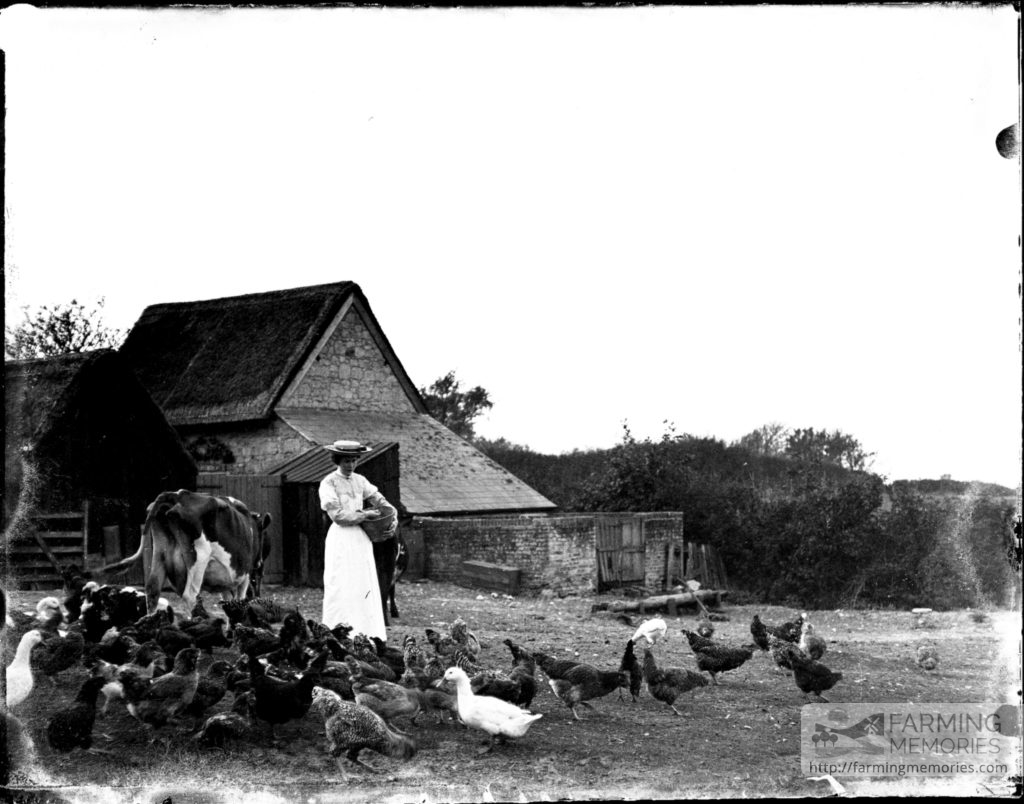 Glass negative of a woman feeding chickens and ducks in a farm yard with a cow