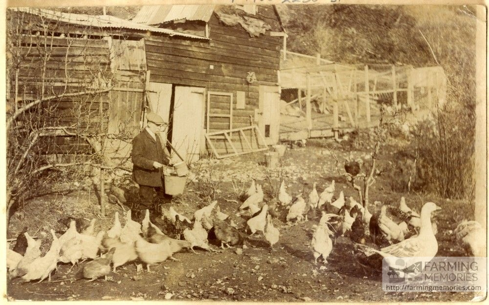 A sepia photograph which shows an old man feeding hens and geese with some farm buildings in the background