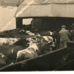 Cows on steamer Lord Elgin