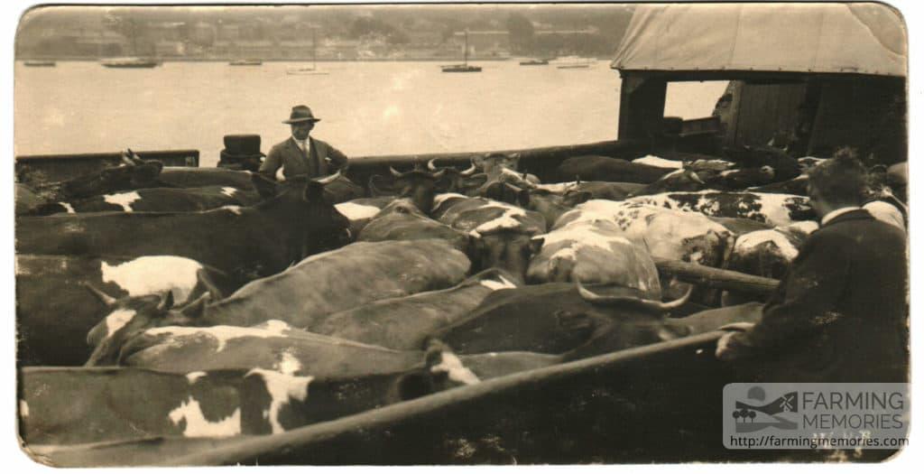 Cows on steamer Lord Elgin