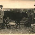 A lamb suckling a cow