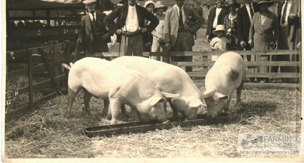 Pigs at the County Show