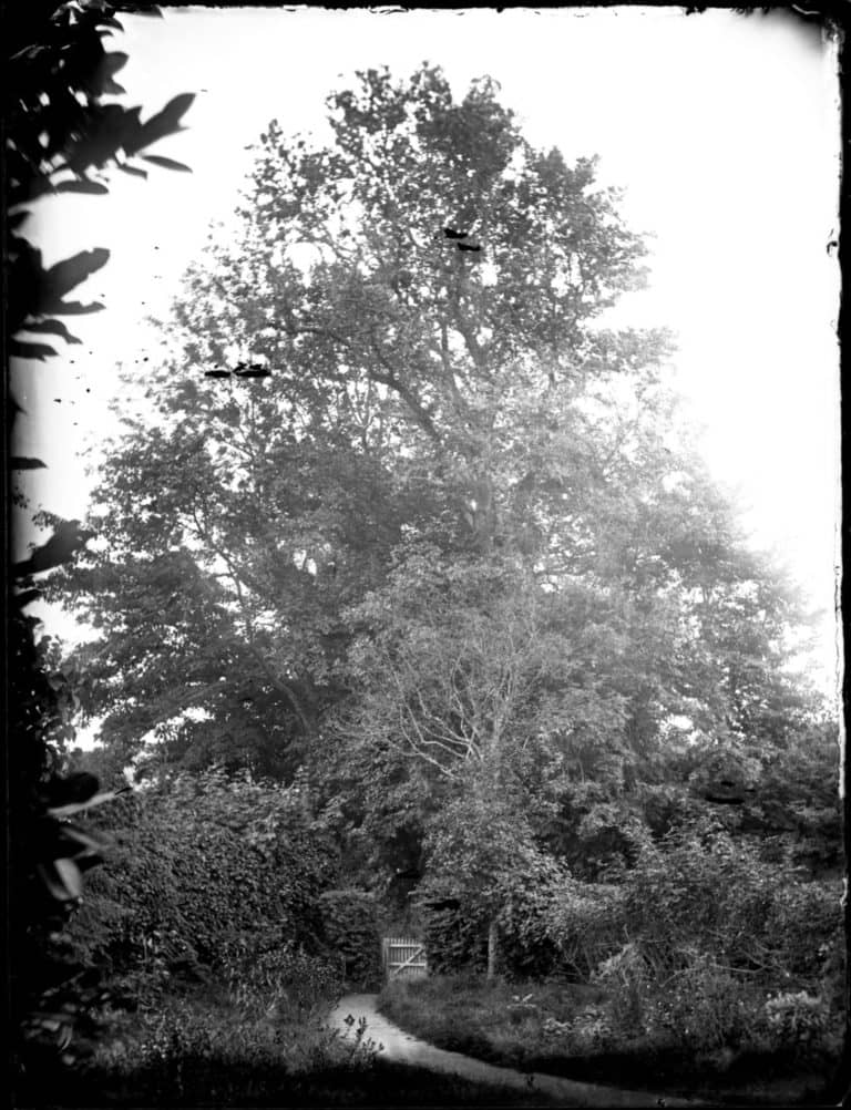 Glass negative of elm trees