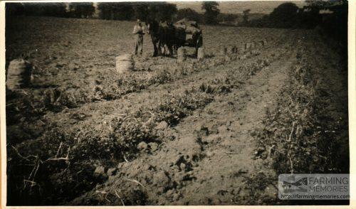 Picking spuds at Roslin Farm