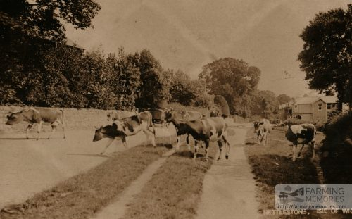 Cattle on Nettlestone Green