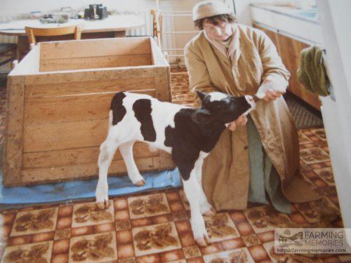 Geoff Phillips - calf in kitchen
