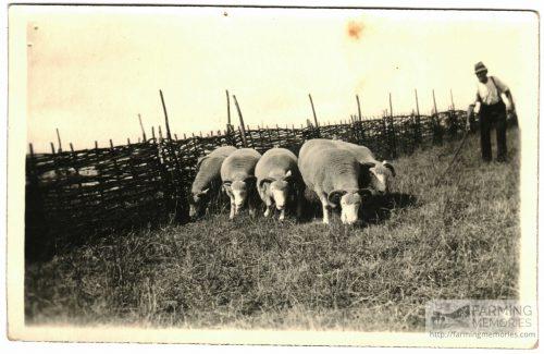 Hurdles and sheep