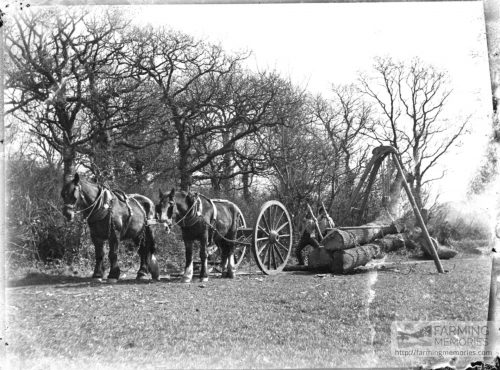 Glass negative of men moving felled trunks in hoist with horses standing ready to hand