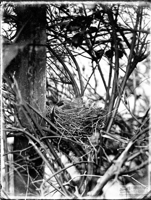 Glass negative of nestlings (possibly Edwardian)