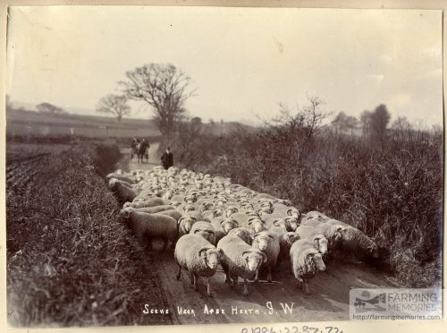 Black and white photograph of a farmer driving a flock of sheep down a road near Apse Heath