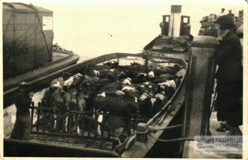 Cattle on barges at Yarmouth